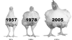 taille poulet